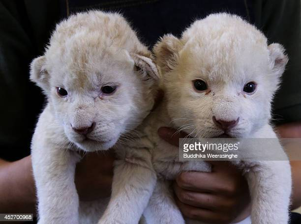 Ninedayold lioness cubs are held by a zoo keeper at Himeji Central Park on July 26 2014 in Himeji Japan A South African Lion gave birth to the two...