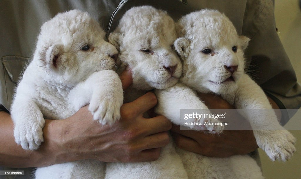 Nine-day-old lioness cubs are held by zoo keepers at Himeji Central Park on July 9, 2013 in Himeji, Japan. The seven white lioness cubs, given birth by three female South African Lions were born on June 6th, 26th and 30th. The cubs will be on public display for the first time later this week.