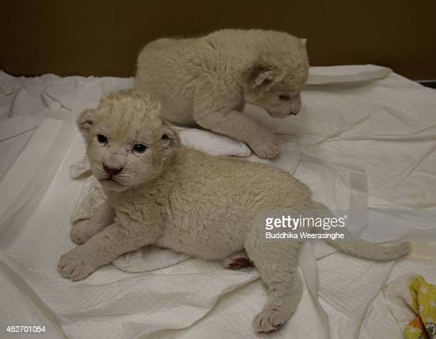Ninedayold lioness cubs are play at Himeji Central Park on July 26 2014 in Himeji Japan A South African Lion gave birth to the two cubs on July 17...