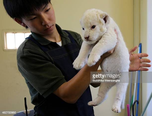 Ninedayold one of two white lion cubs held by zoo keeper at Himeji Central Park on July 26 2014 in Himeji Japan A South African Lion gave birth to...