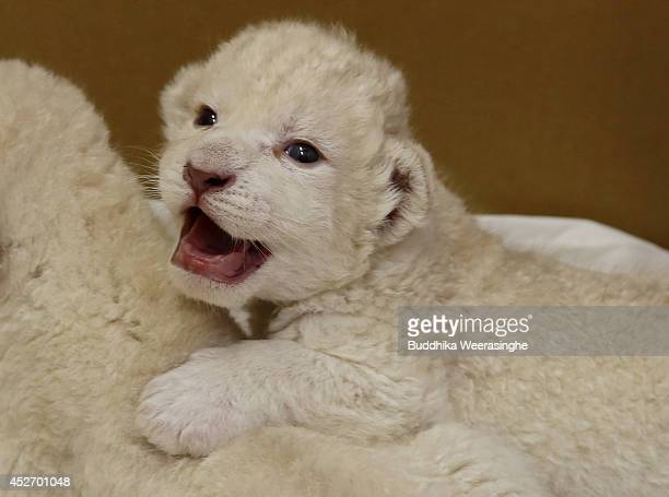 Ninedayold one of two white lion cubs plays at Himeji Central Park on July 26 2014 in Himeji Japan A South African Lion gave birth to the two cubs on...