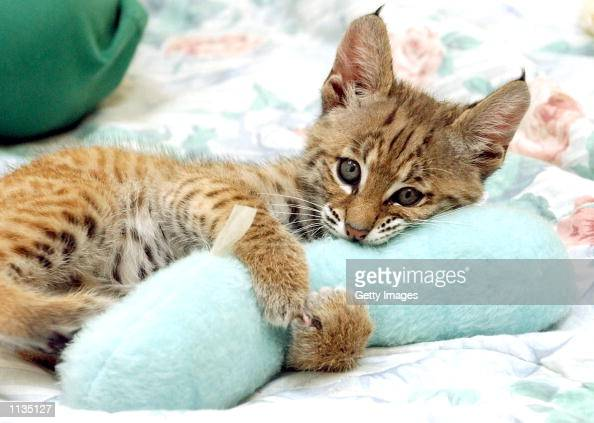 A nineweekold male Bobcat plays with a toy at the July 19 2002 at the San Francisco Zoo in San Francisco California The unnamed cat will become part...