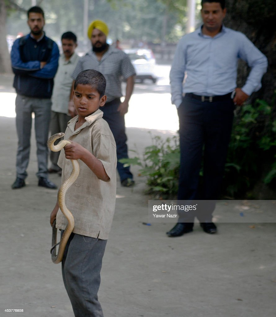 A nine-year-old Indian snake charmer Raju holds a cobra around his neck on August 18, 2014 in Srinagar, the summer capital of Indian Administered Kashmir, India. Indian snake charmers have been performing for hundreds of years and making their livelihood by taming snakes. The snake charmers are fighting for their survival amid stringent wildlife protection laws. Since a government ban in 1990s the Wildlife Protection Act (1972) was implemented their trade is now nearly extinct. The Act bars people from using wild animals commercially or turning them into pets, including bans on performances with live snakes.