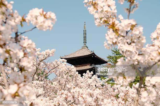 Ninnaji Temple w/ cherry blossoms in bloom, Kyoto
