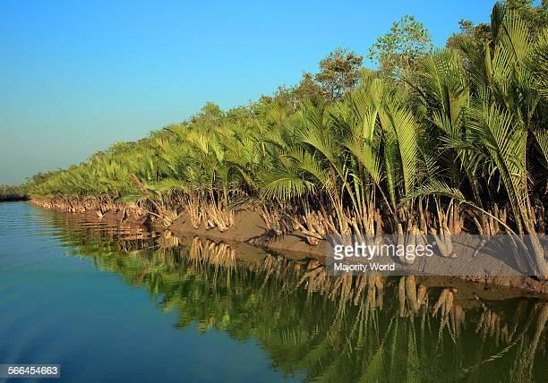 Nipa palm trees in Sundarban Khulna Bangladesh