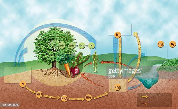 Nitrogen Cycle Illustration Of The Nitrogen Cycle Showing The Importance Of Bacteria For Recycling Nitrogen Back Into The Ecosystem In The Form Of...
