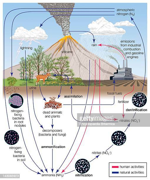 Nitrogen Cycle The Circulation Of Nitrogen In Various Forms Through Nature A Process Essential To Life On Earth