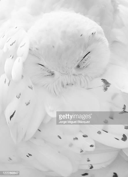 Nival owl