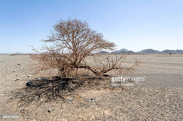 A solitary desert shrub dormant grows from a gravel plain on a flat and barren desert.