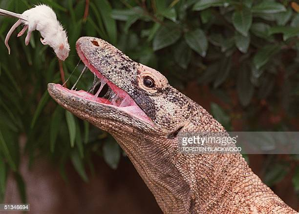 'No Name' the giant Komodo dragon gets his delicious white rat for Christmas lunch at Taronga Zoo in Sydney 25 December The Komodo dragon originally...