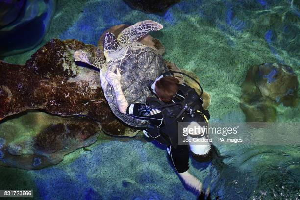Noah a 13yearold endangered green sea turtle is guided towards the scales before being weighed at Sea Life Great Yarmouth after being put on a...