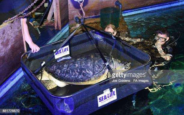 Noah a 13yearold endangered green sea turtle is weighed at Sea Life Great Yarmouth after being put on a special diet