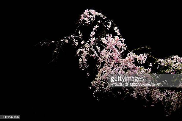 Nocturnal view of cherry blossoms
