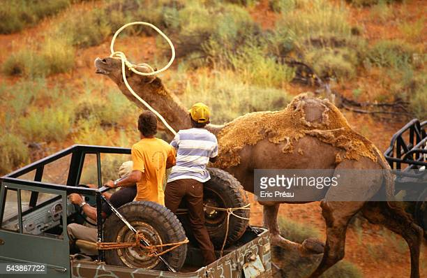 Noel Fullerton and his team capture wild dromedaries with their lariats to export or tame and train them for safaris or competition Fullerton's farm...