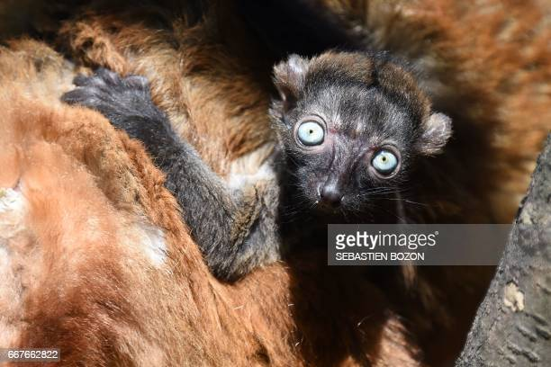CORRECTION Nofy a blueeyed black lemur cub is pictured with its mother Jaune at the zoo of Mulhouse northeastern France on April 12 2017 / AFP PHOTO...