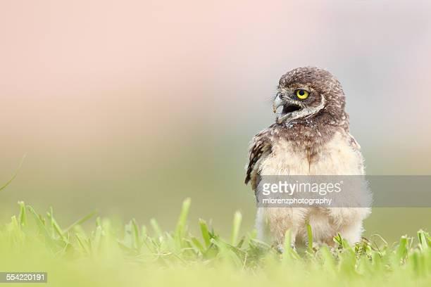 Noisy Owlet
