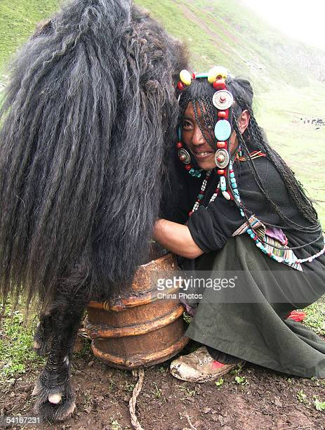 A nomad milks a yak under the Sicun jokul on September 1 2005 in Baqing County of Tibet Autonomous Region China Nomads struggle to make a living at...
