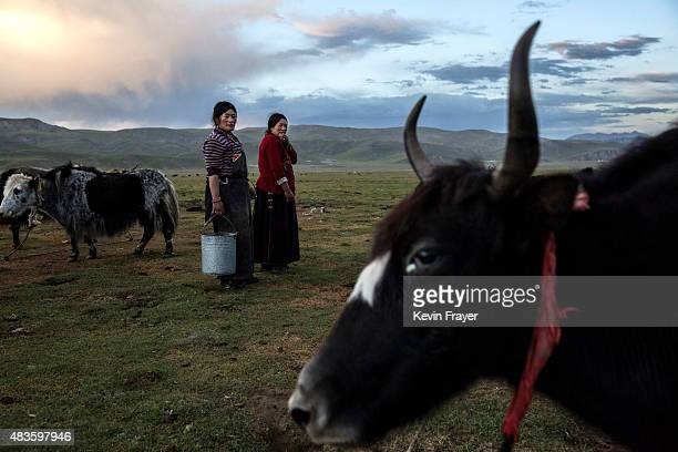 Nomadic ethnic Tibetan women stand amongst their Yak herd at a camp on July 27 2015 on the Tibetan Plateau in Yushu County Qinghai China Tibetan...