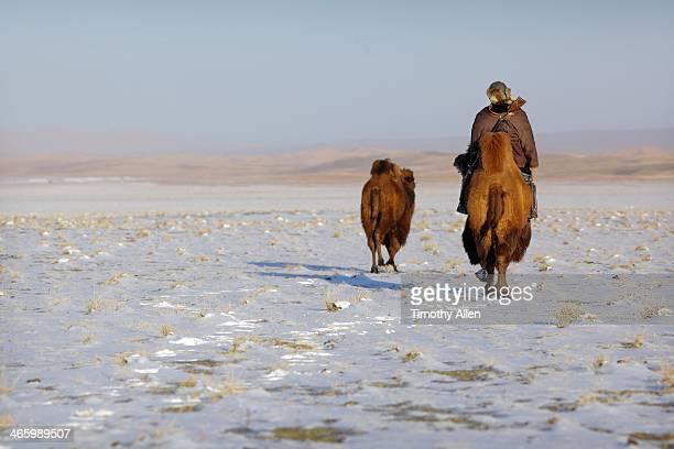 Nomadic herder & Bactrian camels, Gobi Desert