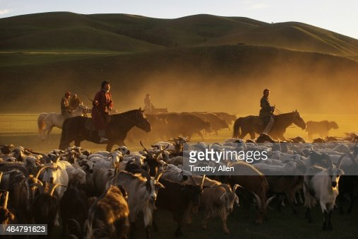 Nomadic horsemen herd cashmere goats at dusk