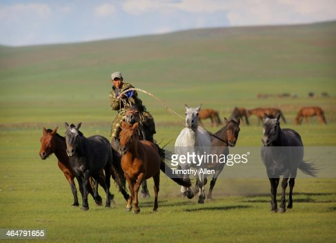 Nomadic Mongolian herder lassoes a mare
