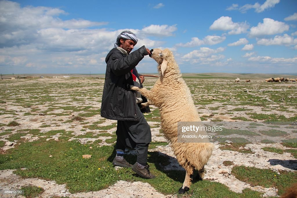 A nomadic shepherd feed his sheep in Sanliurfa province of Turkey on their way to uplands in eastern Anatolia region on April 16, 2015. Nomadic shepherds trek long distances in Anatolia in search of pasture and cool places for their sheep.
