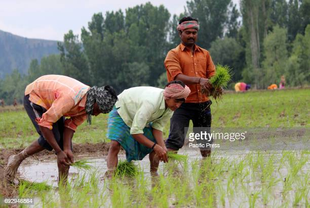 Non local farmers plant rice saplings in a paddy field on the outskirts of Anantnag district some 60 kilometers from summer capital of Indian...