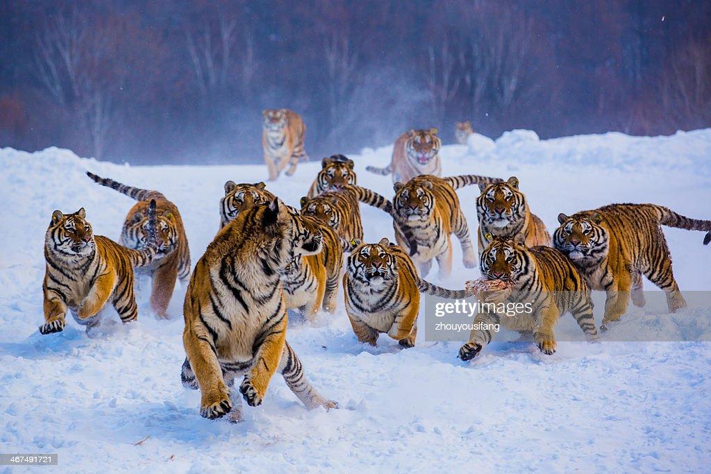 Nontheast Tiger