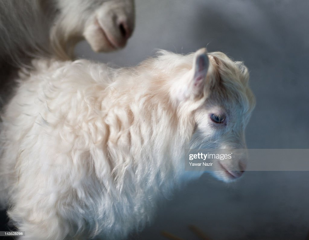 veterinar kid Noori, the world's first cloned Pashmina kid goat is seen with its foster mother at