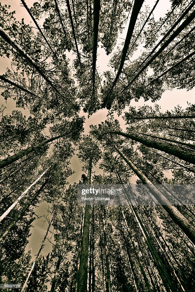 nordic forest : Stock Photo