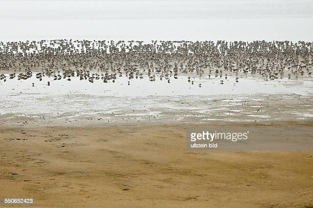 Nordsee Insel Sylt SchleswigHolstein Vogelschwarm im Nebel am Wattenmeer Swarm of birds in the fog over the Waddensea on the island Sylt North Sea...