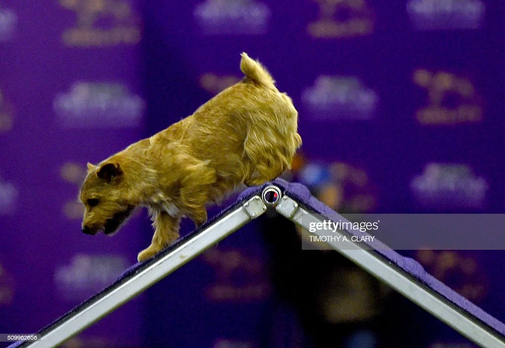 A Norfolk Terrier runs the agility course during the 3rd Annual Masters Agility Championship on February 13, 2016 in New York, at the 140th Annual Westminster Kennel Club Dog Show. Dogs entered in the agility demonstrate skills required in the challenging obstacles that they will need to negotiate. / AFP / Timothy A. CLARY