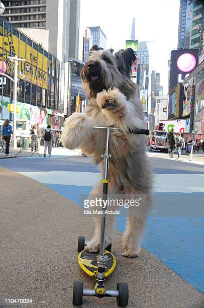 AMERICA Norman the scooterriding Briard dog from Georgia rides his scooter in Times Square after his appearance on GOOD MORNING AMERICA 3/18/11 GM11...