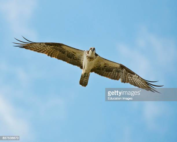 North America USA Florida Clewiston STA 5 Osprey in Flight