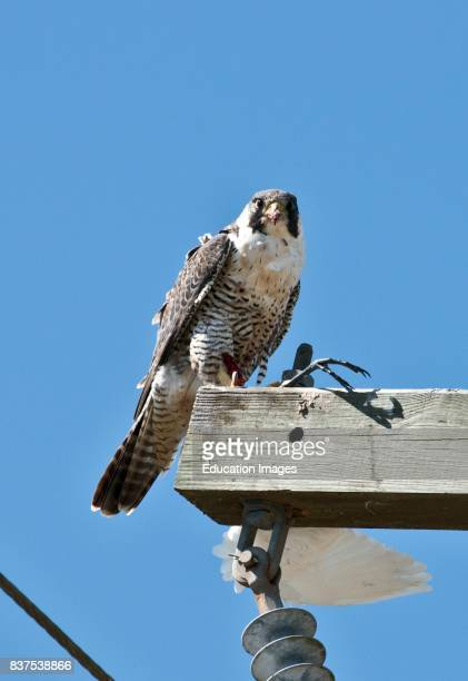 North America USA Florida Clewiston STA 5 Peregrine Falcon Feeding on Common Egret