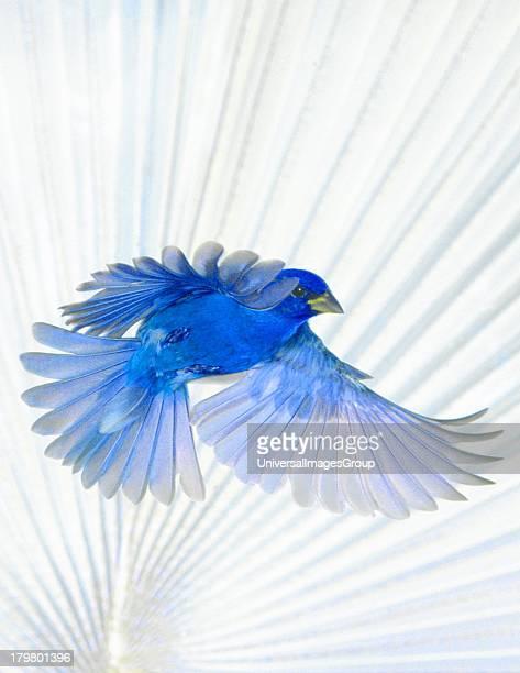 North America USA Florida Immokalee Indigo Bunting in flight Bismarck Palm background