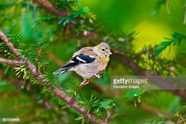 North America USA Minnesota Mendota Heights Mohican Lane American Goldfinch