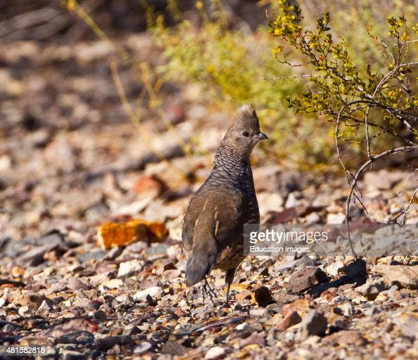 Quail Bird Stock Photos And Pictures
