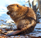 North American Beaver in Tahoe eating wood in the snow. His dam was partially tore down. This maybe why he needed to find food in the day time on land in winter. Shot with Canon T3i with high color sa