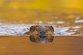 North American beaver (Castor canadensis) in pond