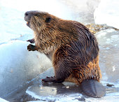 Cute North American Beaver standing in the snow and ice in Tahoe in winter. He looks like he is smiling. Shot with Canon EOS REBEL T3i.