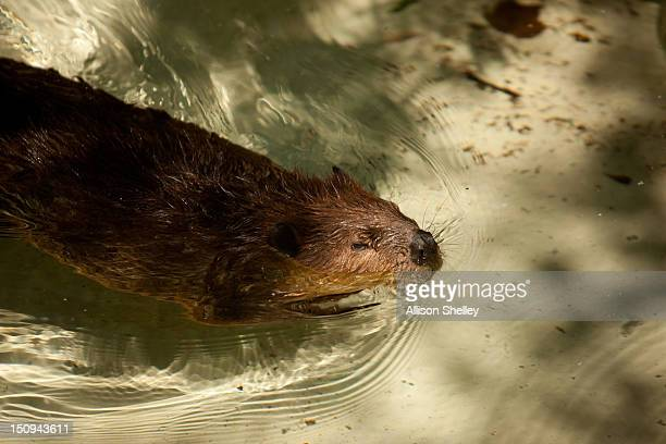 North American beaver swims in a manmade beaver dam in the new beaver enclosure during a sneak peak of the new American Trail at the Smithsonian...