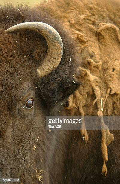North American Bison at the Werribee Open Plain Zoo with a malting coat of hair on 7th June 2005 THE AGE NEWS Picture by PAUL HARRIS