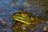 North American Bull Frog Sitting In Marsh