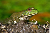North American bullfrog with soft focus background.