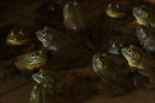 North American Bullfrogs huddle together in their enclosure at the Jurong Frog Farm on June 11 2013 in Singapore The Jurong Frog Farm started in 1981...