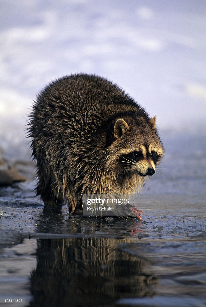 North American Raccoon, Procyon lotor, fishing in stream, Uinta National Forest, Utah, USA : Stock Photo