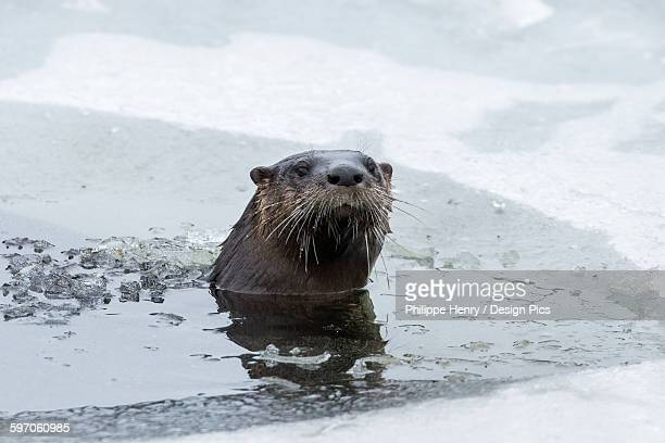 North american river otter (Lontra canadensis) emerging from a hole in the ice, La Mauricie national park