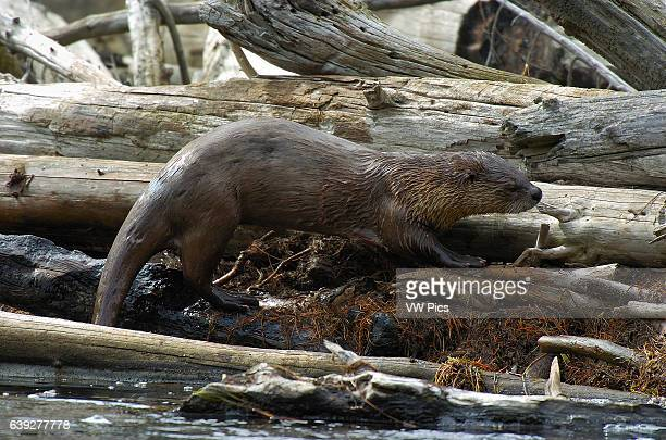 North American River Otter Madison River Yellowstone National Park Wyoming