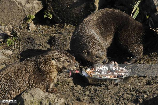 North American River Otters Haha and Minnie eat a specially prepared birthday cake containing chicken mince carrot apple sprats prawns blueberries...